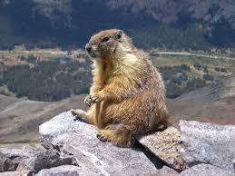 ce marmot