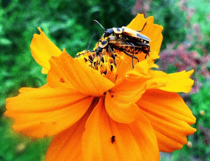 leatherwing beetle (1)
